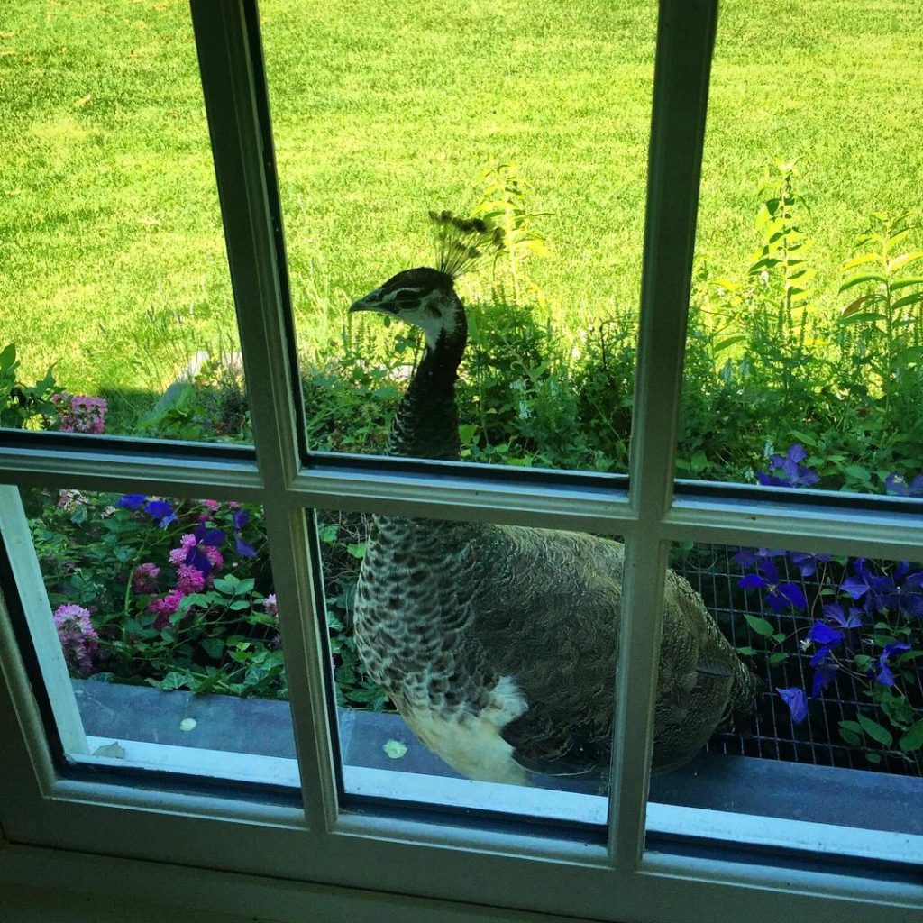 Delilah being cheeky peahen