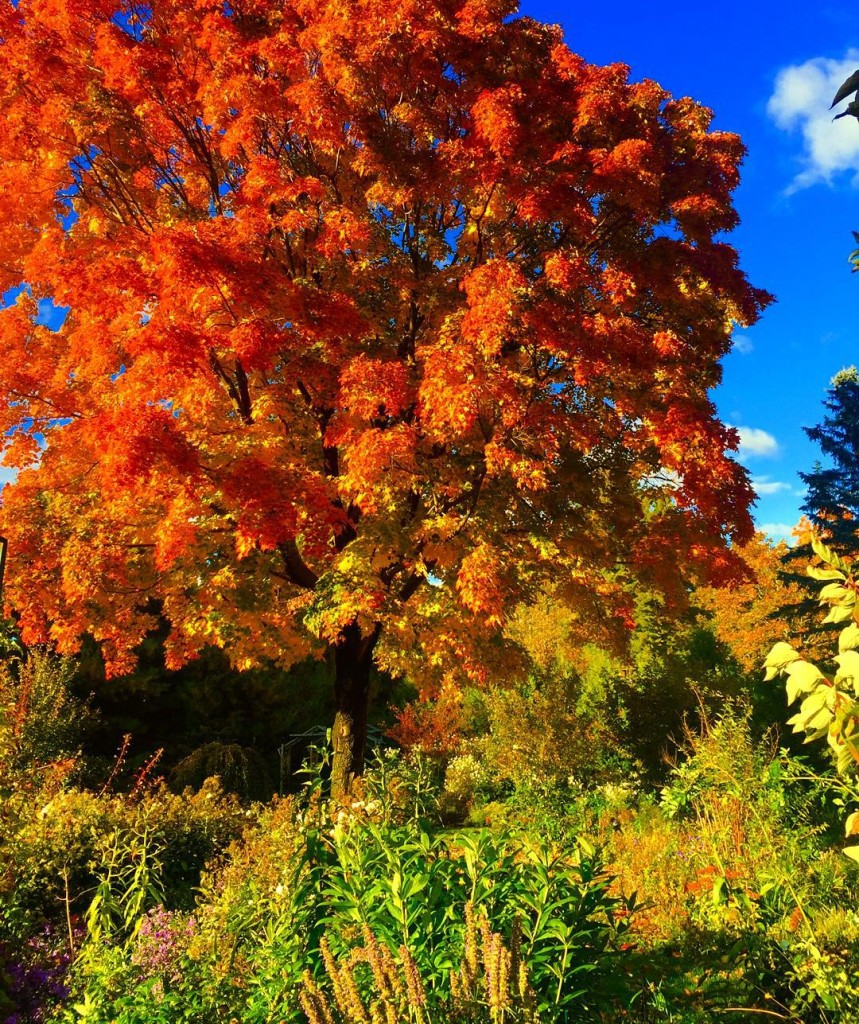 The maple tree in all its glory garden autumn