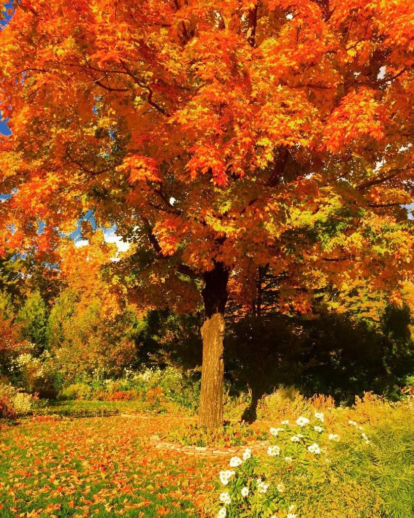 My favorite maple tree in the garden garden autumn