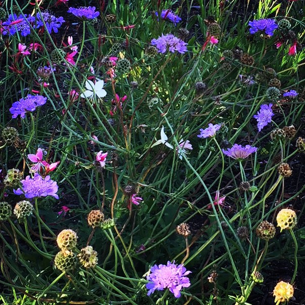 Last of the scabious garden