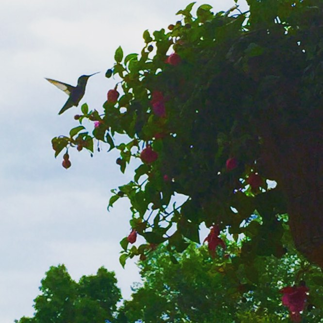 Flight of the humming bird in the garden