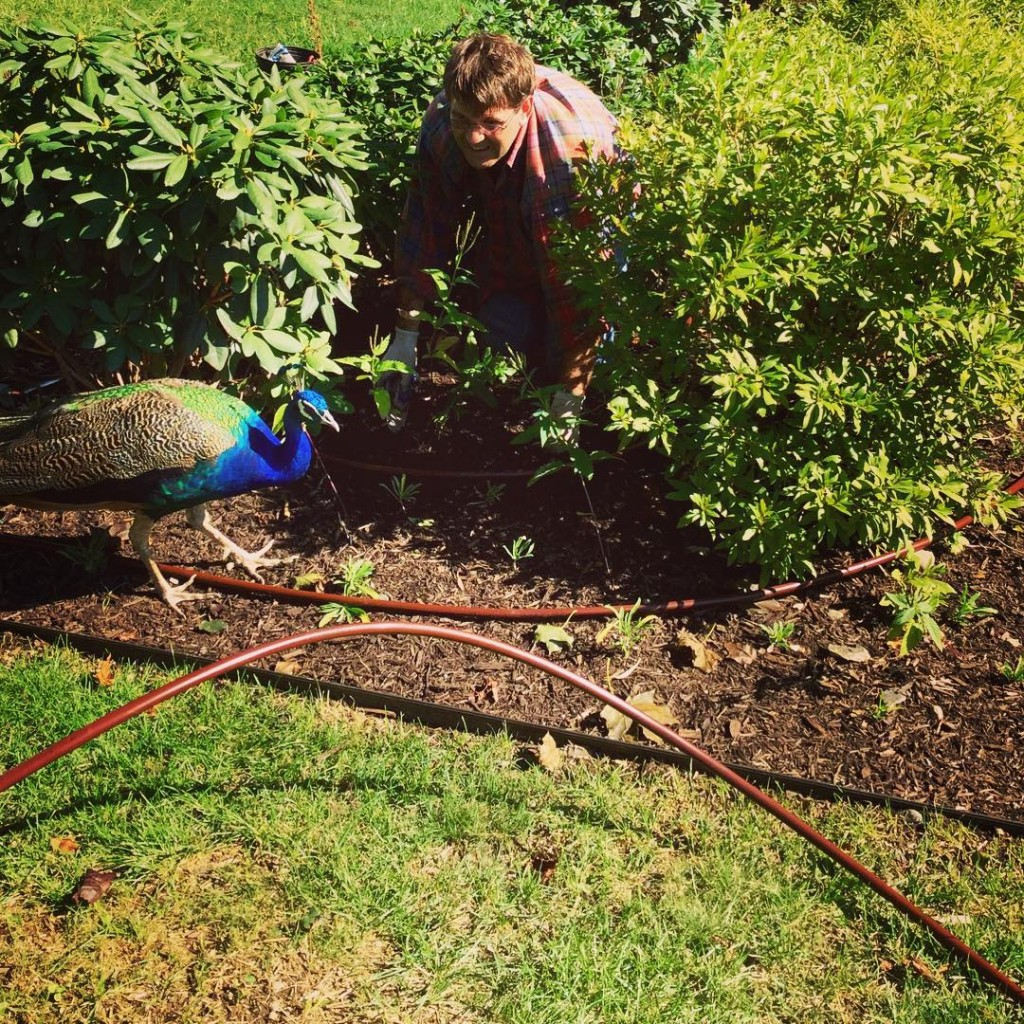 MrBlue helping Reg to lay irrigation in the garden