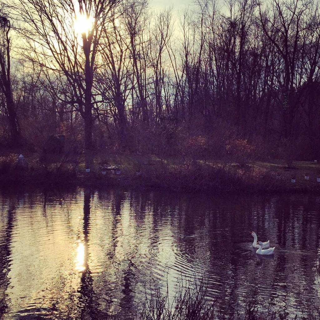 Feeding the geese before it gets dark