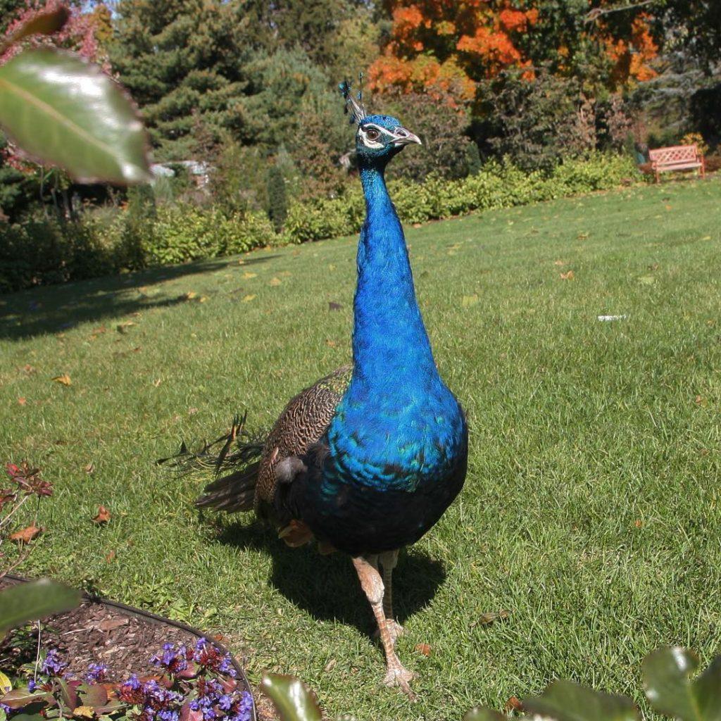 mrblue rainbowcolors autumn peacock garden