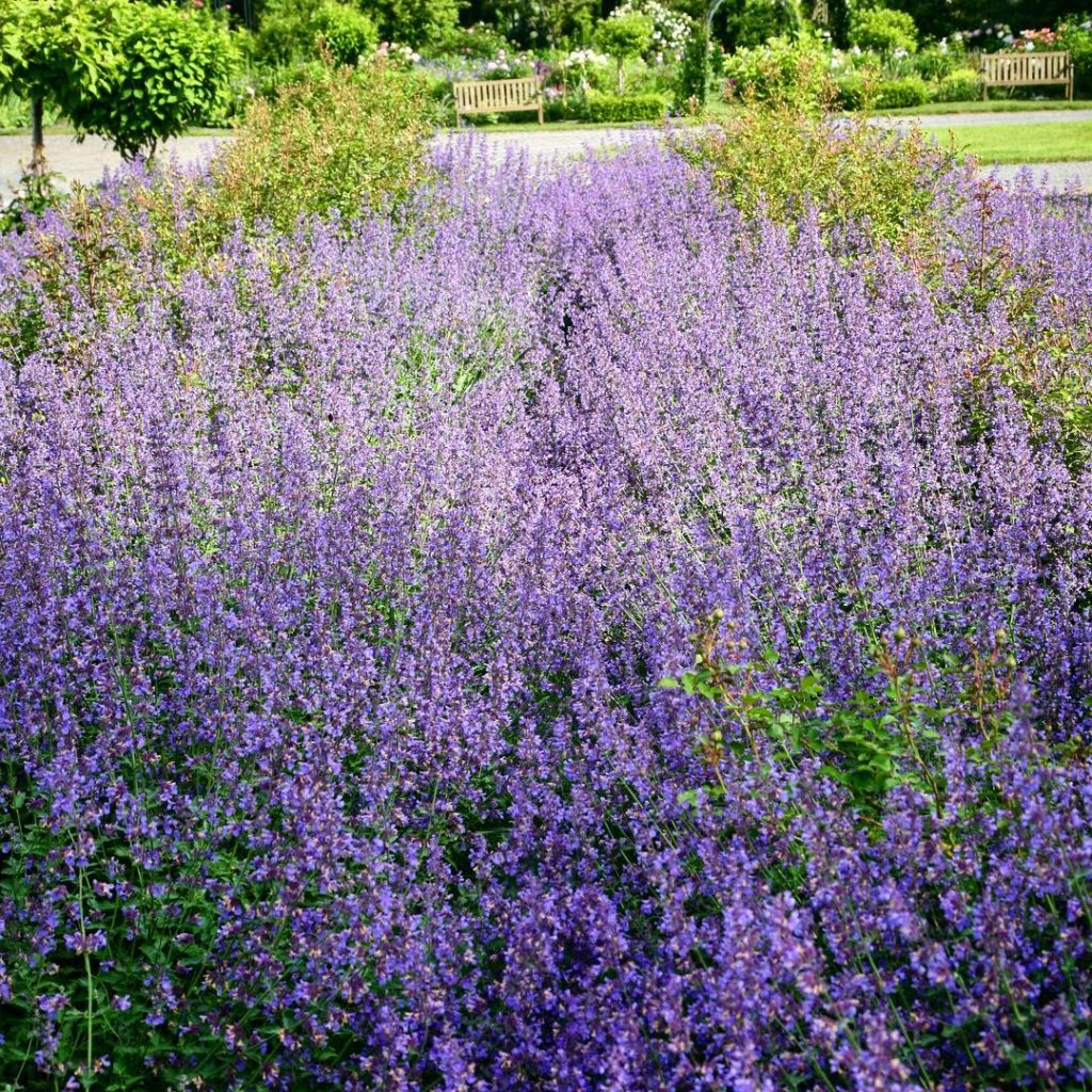 The nepeta border  hiding 50 feet of roses abouthellip