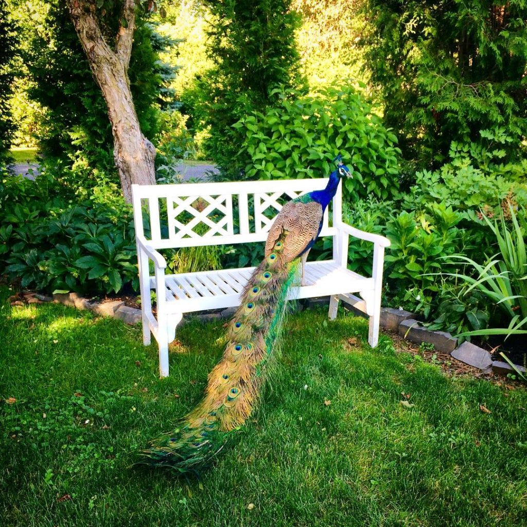Mr Blues idea of sharing the bench peacocks